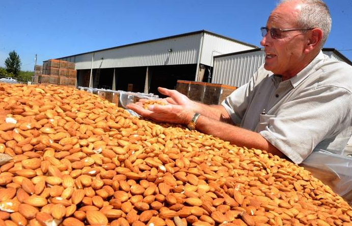 Dave Phippen, a principal of Travaille & Phippen in Manteca, sifts a handful of processed almonds Thursday. Phippen said the statewide almond harvest will likely be short of the 1.8 billion pounds forecast earlier this summer. Photo Courtesy of RecordNet