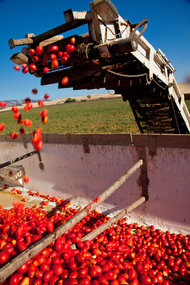 Kim Steele for The New York Times. Machine-harvesting tomatoes at Rominger Brothers Farms in Winters, Calif.